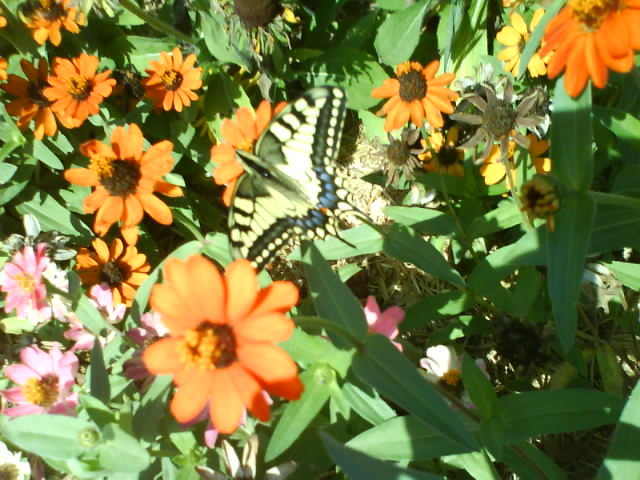 Un Machaon Dsc01448-40b5250